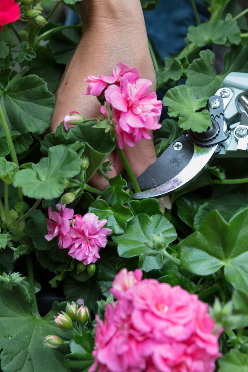 Gerani rimuovere fiori e foglie secche correttamente