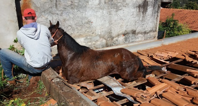 Ivaiporã: Cavalo cai em telhado de residência