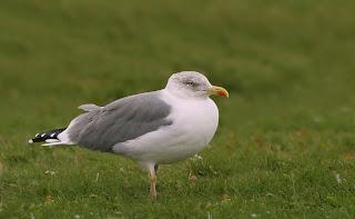 Yellow-legged Gull Newfoundland
