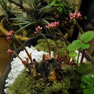 丹頂草のツボミの茎