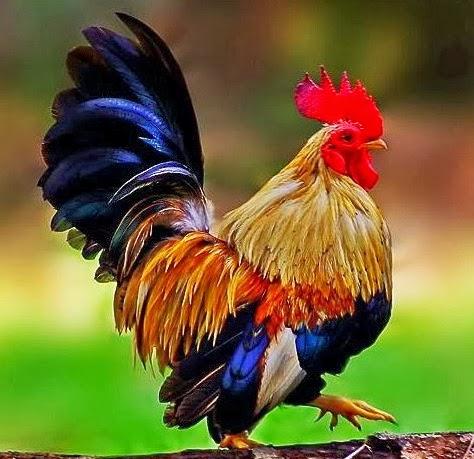 Cara Merawat Ayam Kate Yang Baik Dan Benar  Lionel Ngeblog