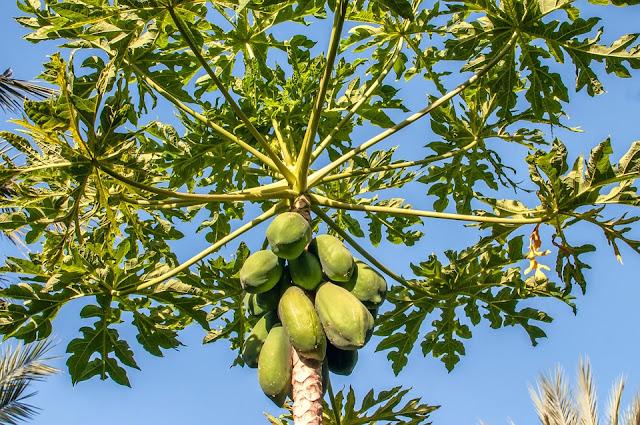pawpaw-tree