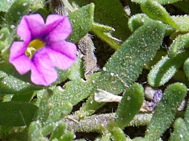 Plantas de lujan buenos aires c d - Calibrachoa perenne ...
