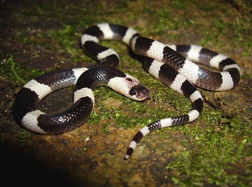 Snake Eyes Hd Wallpapers Snakes Blue Krait Snakes