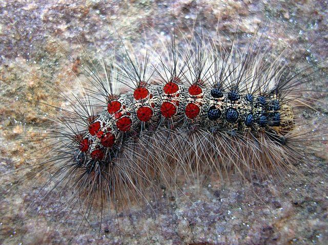 gąsienice motyli, szkodniki