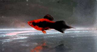 Jenis ikan Platy Pintail