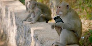 Cari Makan, Monyet Jenius Uluwatu Sandera Barang Wisatawan