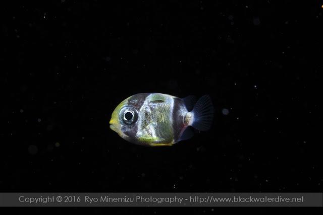ヤリカタギ稚魚