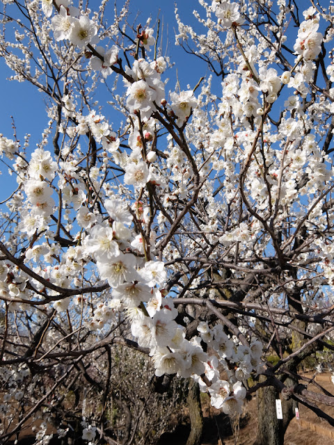 羽根木公園で咲いている梅の写真です。