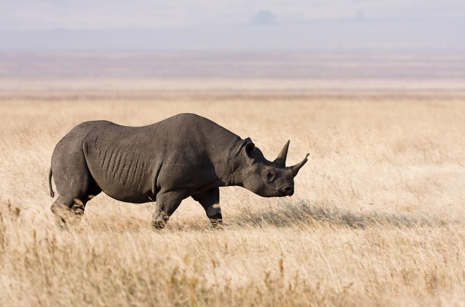 Mammals Animals: Ngorongoro Spitzmaulnashorn