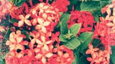 13 Manfaat Bunga Asoka Untuk Kesehatan Dan Kecantikan