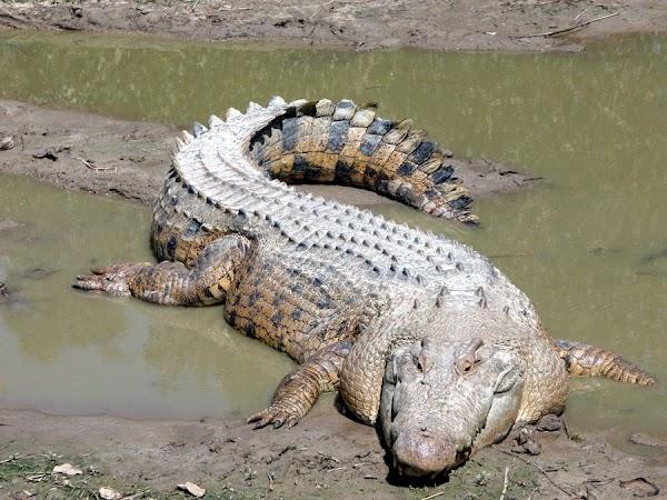 نبذه عن اخطر تمساح فى العالم