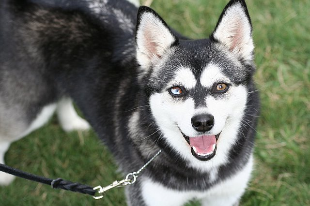 Dog Pictures: Alaskan Klee Kai Dogs