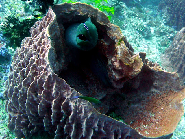 giant moray eel, andaman sea, india, el nino