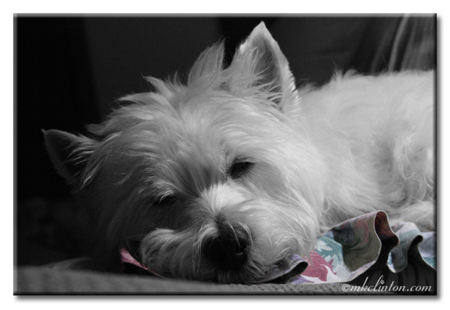 Westie asleep in B&W