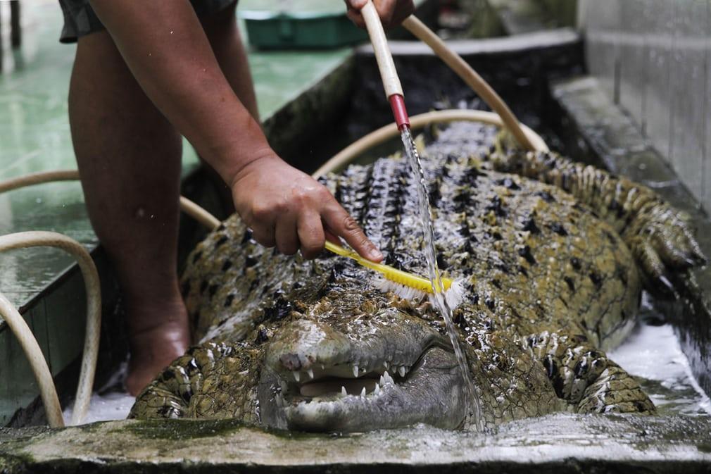 Власник купає домашнього крокодила
