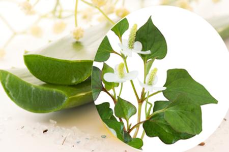 bí quyết trị mụn hiệu quả bằng rau diếp cá-2