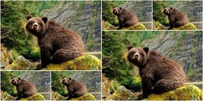 Urso do Canadá repousando na beira de um rio e que acha que é homem e vive dilema