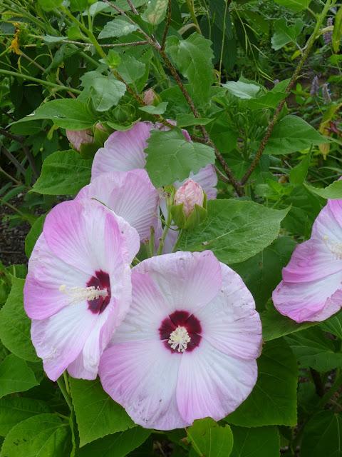 关闭在芙蓉moscheutos'Luna'(玫瑰锦葵)花