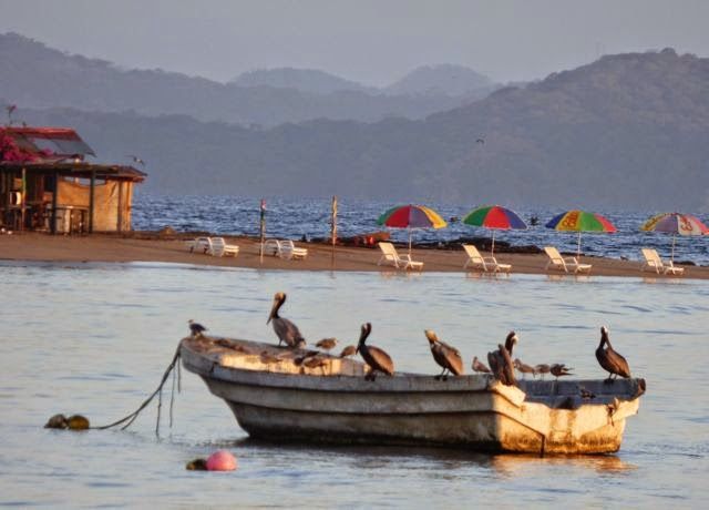 pelicans near taboga beach