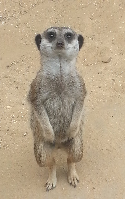 Meerkat with Intense Expression