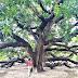 World's largest mango tree