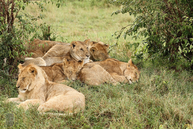Masai Mara National Park Wild Animals Lion's Family Sleep