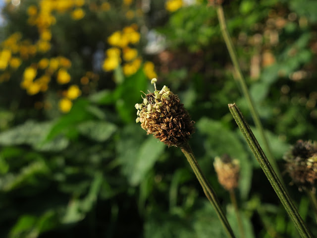 Compact head of Ribwort Plantain with yellow flowers behind.