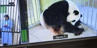 """علاج غريب لأنثى الباندا """" ممارسة الجنس """" لعلاجها من عادة غريبة"""