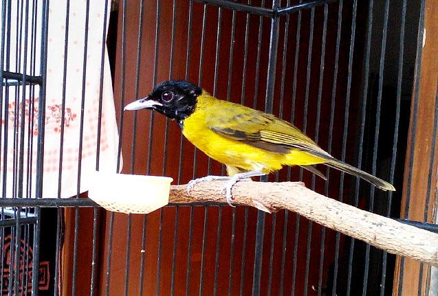 Mp3 Suara Burung Samyong Gacor