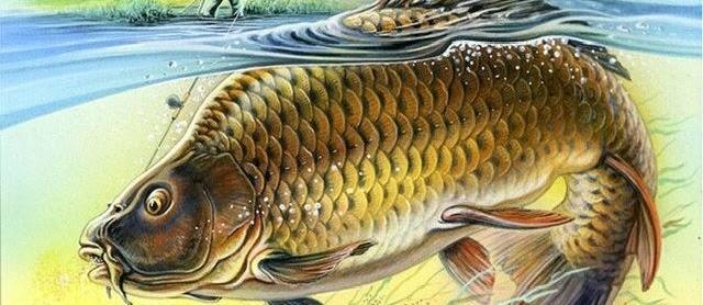 Gambar Ikan Mas Besar Lengkap dan Unik
