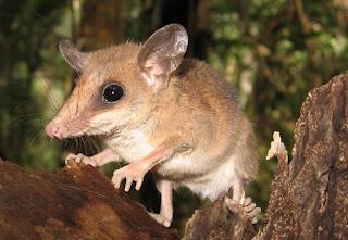 Quando entram no período de reprodução, os machos dos ratos-marsupiais-australianos têm seus testículos aumentados até atingirem o tamanho equivalente a um quarto do seu corpo.  Daí, começam a produzir grande quantidade de esperma e testosterona – hormônio sexual masculino.