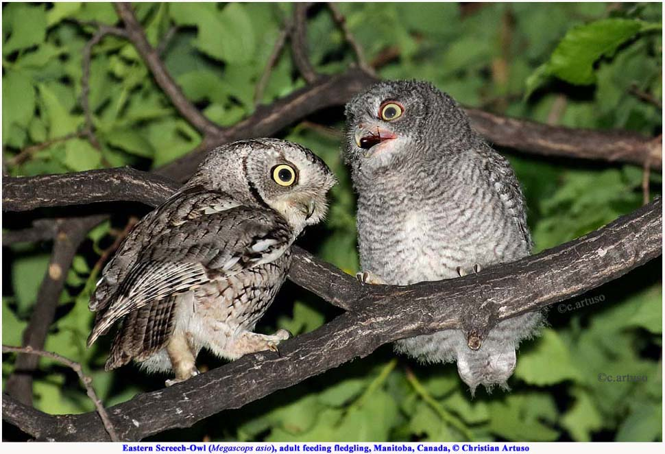 And Screech Habitats Eastern Their Owls