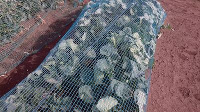 防鳥・防獣ネットの中で窮屈な茎立ち菜