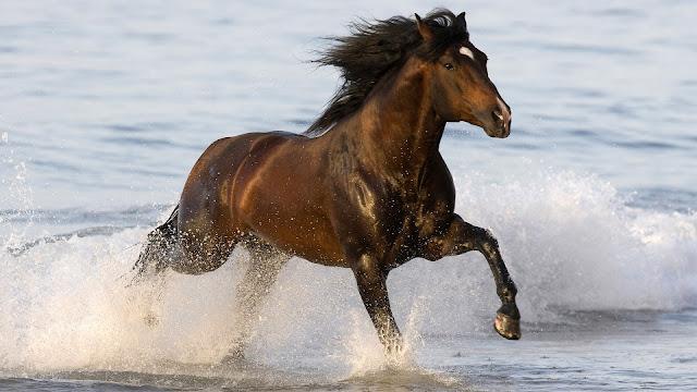 Bruin paard galopperend door het water