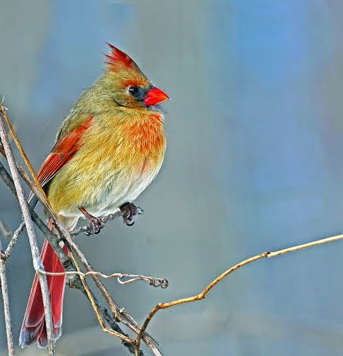 Information on the Cardinal Bird (with Pictures)   eHow  Female Cardinal In Winter