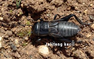 Jenis Jangkrik Jeliteng (Gryllus bimaculatus)