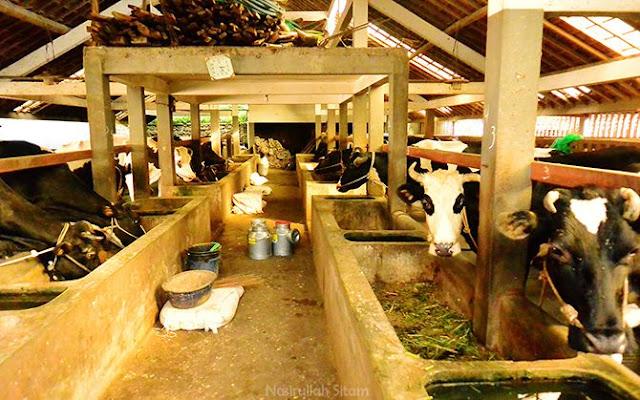 Pujon Kidul terkenal dengan peternakan Sapi Perah di Malang Raya