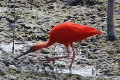 Roter Ibis (Eudocimus ruber) in Pedernales auf Nahrungssuche.