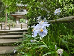 浄智寺のシャガ