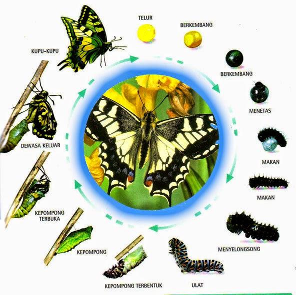 Metamorfosis sempurna pada kupu-kupu