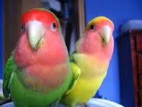 9 Tips Cara Membedakan Jenis Kelamin Love Bird Jantan Dan Betina