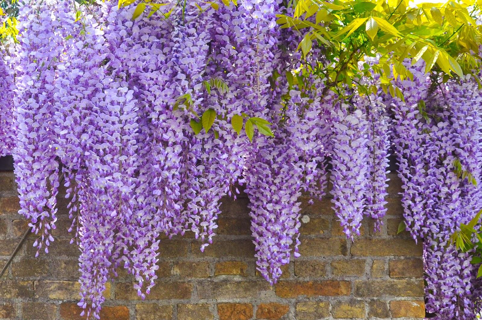 Flowering wisteria, Wisteria in full bloom