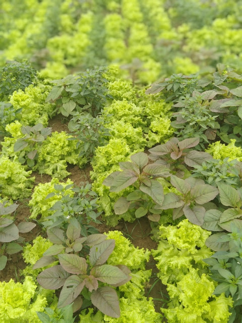 How to grow lettuce ? Growing lettuce
