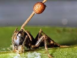 El hongo maneja la hormiga según le parece