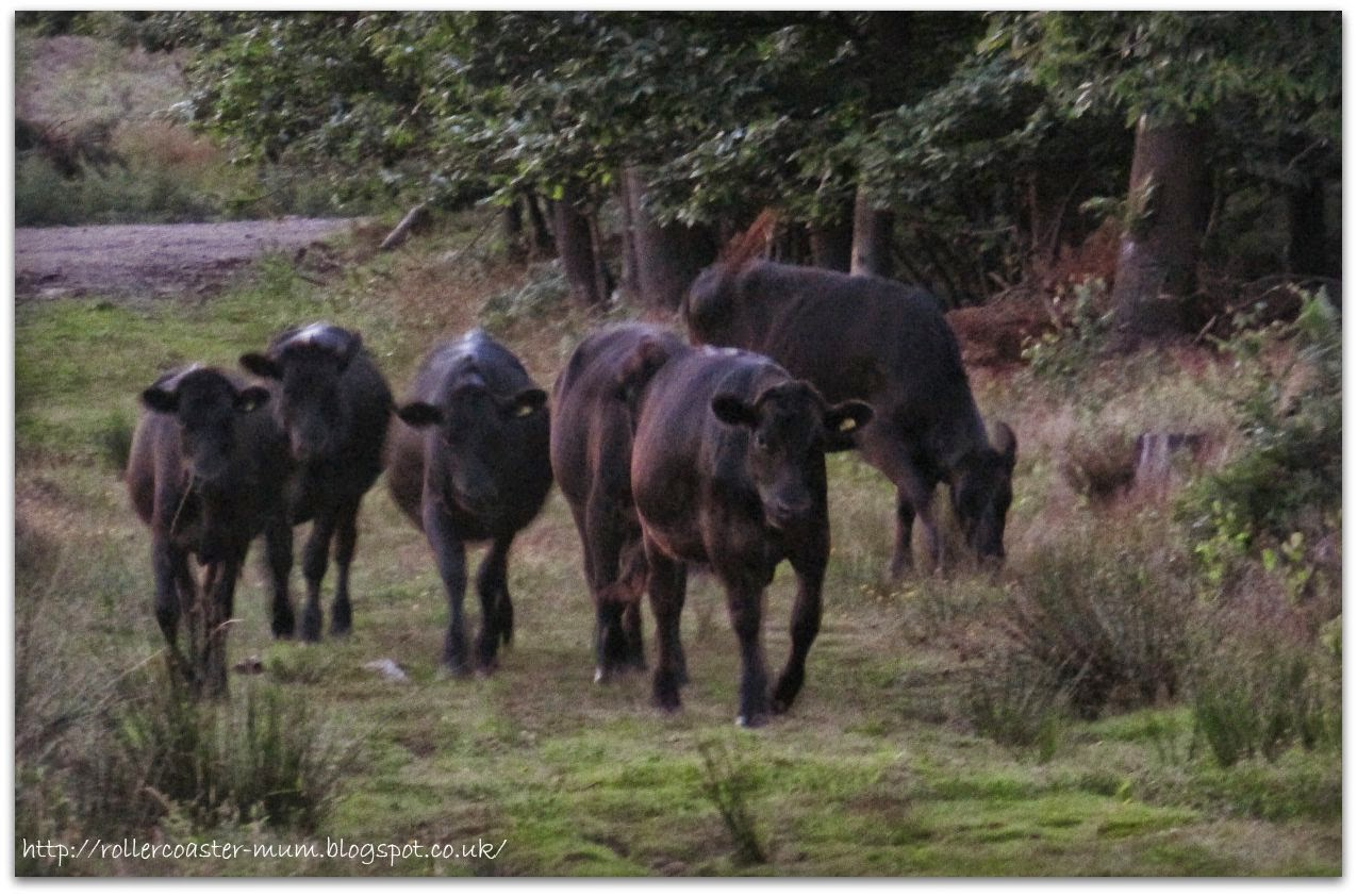 Farnham Heath cattle