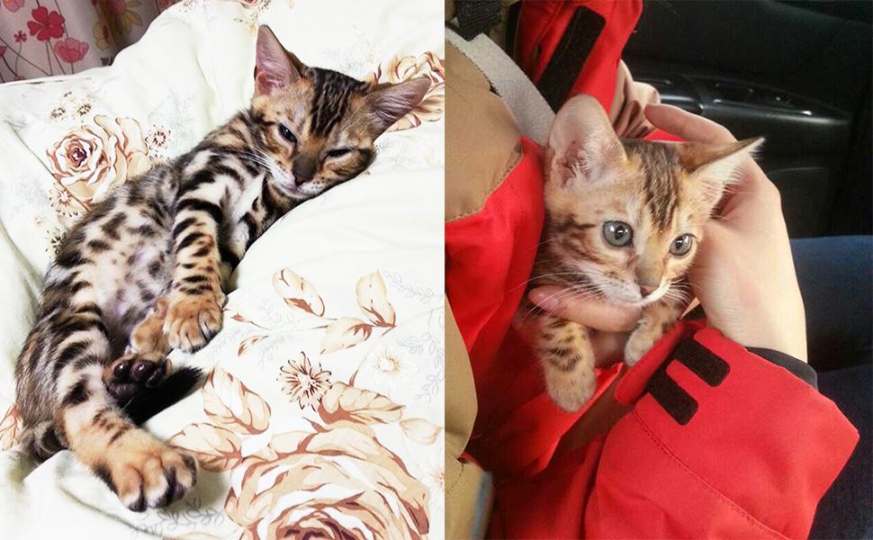 бенгальская порода, воспитание бенгала, характер бенгала, бенгальская кошка, умная кошка, эльза, кошка дает лапу, питание бенгала, как приучить кошку к туалету, приучить кошку к унитазу, кот туалет, леопардовая кошка, леопардовая порода, леопад