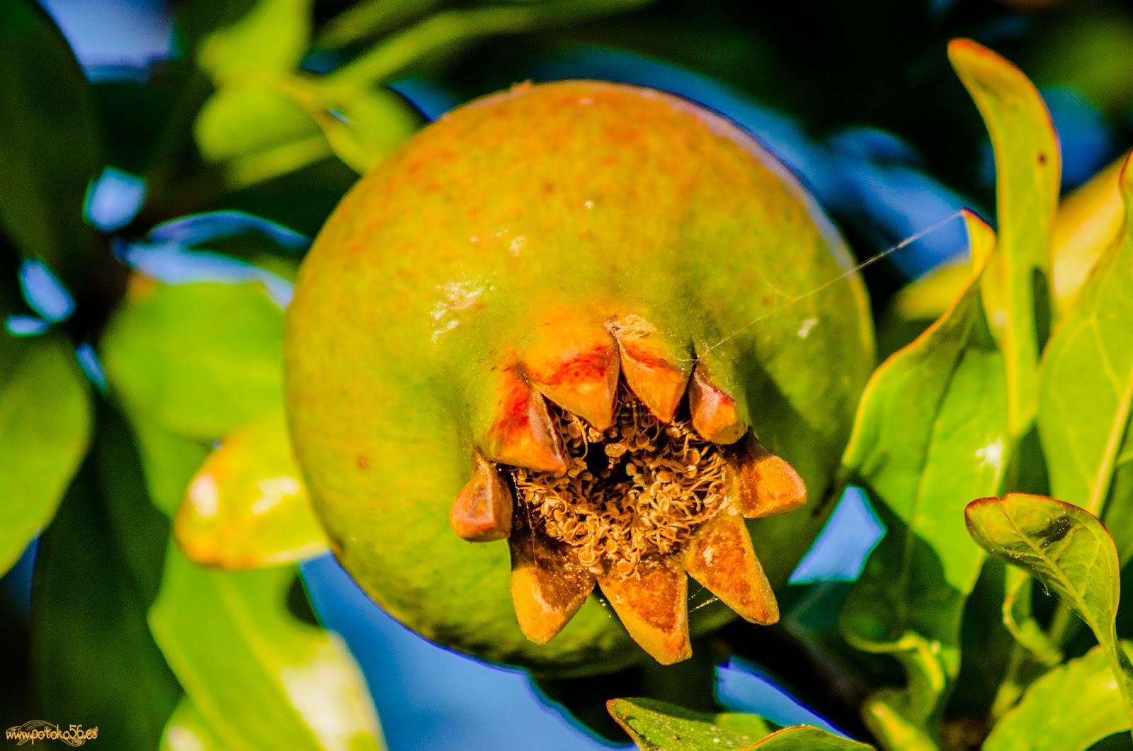 fruto del granado en el Campo de Rota
