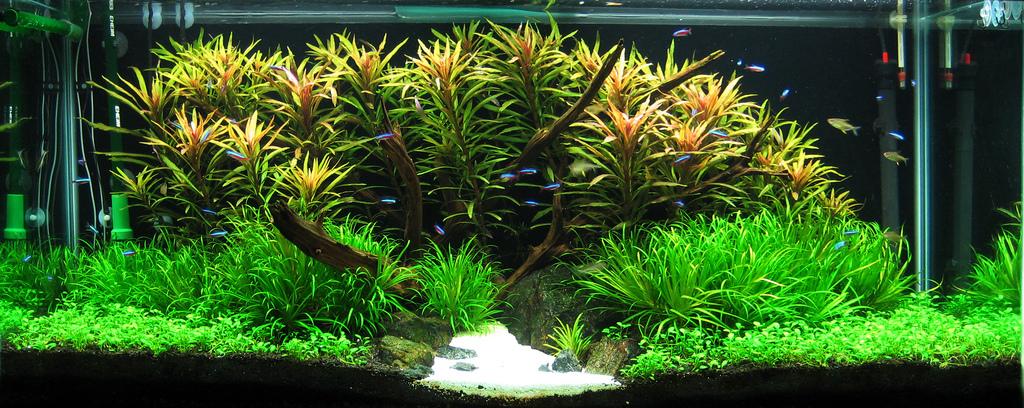 1 bể thủy sinh có cây cỏ nhật và cây ngỗ tím