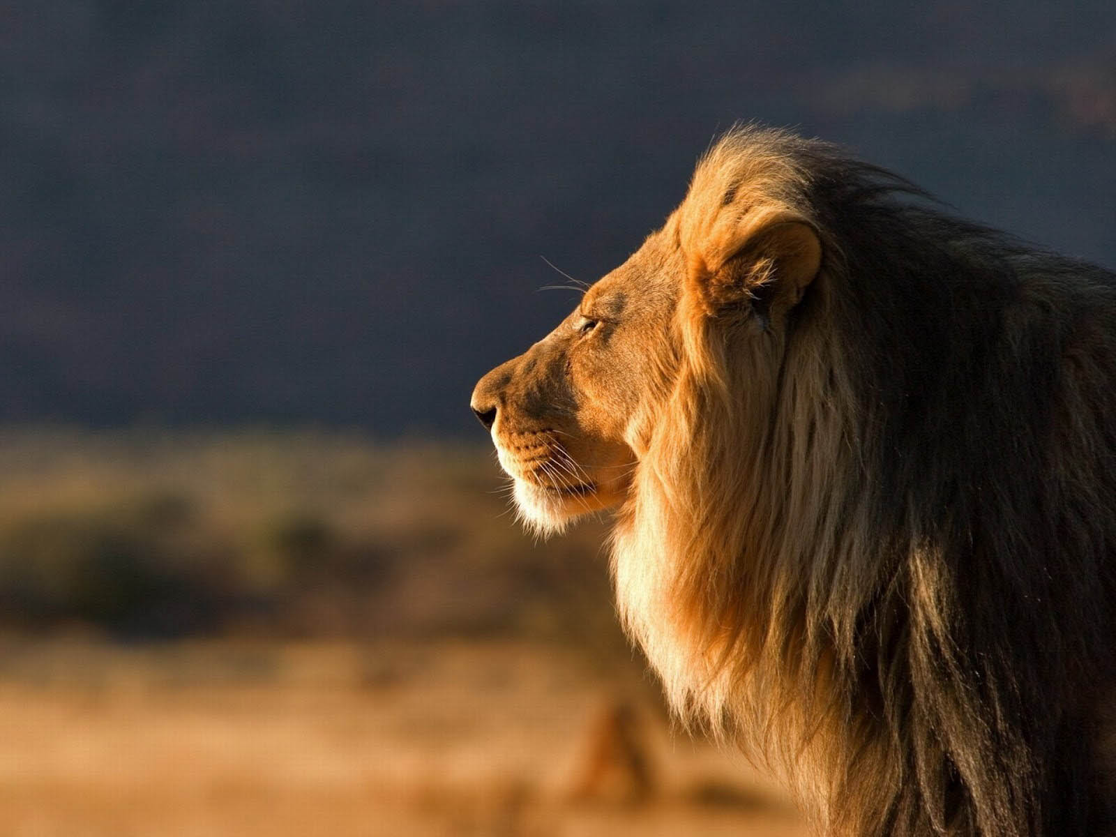 wallpaper: Male Lion Wallpapers